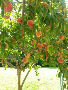 Peach tree on my mail route. I wanted to pick some sooo bad!