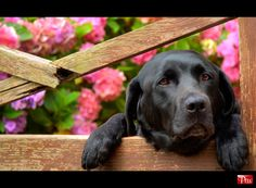 This is probably one of the prettiest black labs I've ever seen ♥