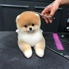 Awkward Trend: Round Dog Haircuts Source by The post Awkward Trend: Round Dog Haircuts appeared first on Avery Dogs. Baby Animals Super Cute, Cute Baby Dogs, Cute Little Puppies, Cute Dogs And Puppies, Cute Little Animals, Pet Dogs, Dog Cat, Pets, Teddy Bear Puppies