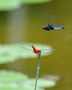 dragonflies (red and blue) | Flickr - Photo Sharing!