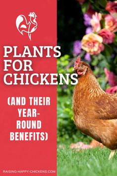 If you've decided to provide your chickens with as natural an environment as possible while enhancing your garden at the same time, consider these plants that are actually very good for chickens. Some of these plants for chickens are edible, others are beneficial in external use. They're presented here in alphabetical order. >> Easy To Grow Flowers, Growing Flowers, Growing Plants, Plants For Chickens, Raising Backyard Chickens, Chicken Treats, Chicken Feed, Growing Weed, Joy Of Living