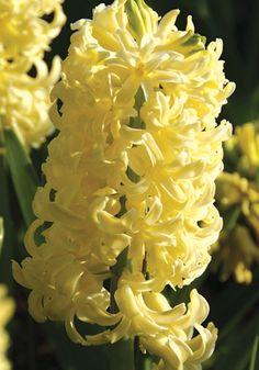 """Old House Gardens Heirloom Bulbs  """"City of Haarlem"""" Hyacinth"""