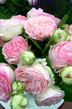 плетистые  Еден Роуз (Eden Rose)