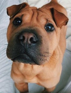 Puppy Care, Pet Puppy, Puppy Dog Eyes, Cute Baby Animals, Animals And Pets, Funny Animals, Cute Dogs And Puppies, Doggies, Cute Creatures