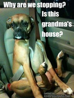 Dogs say or think the darndest things. Here are some possible thoughts your dog may have. doggie & dogs Read More The post . Dogs say or think the darndest things. Here are some possible thoughts your d& appeared first on Floyd Pet Supplies. Boxer And Baby, Boxer Love, I Love Dogs, Puppy Love, Cute Dogs, Funny Animal Pictures, Funny Animals, Cute Animals, Boxer Puppies