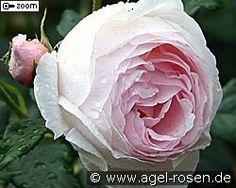 Ausblush (Englische Rose)