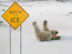 Polar bear falling on ice