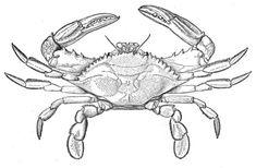 Atlantic Blue Crab coloring page from Crabs category. Select from 20946 printable crafts of cartoons, nature, animals, Bible and many more.