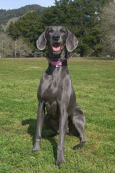 RARE Blue Weimaraners? | Blue River Weimaraners... reminds me of our beautiful blue boy we had. Miss him so much!