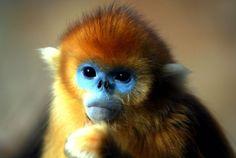 Golden snub nosed monkeys