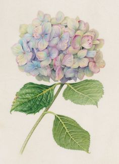 Hydrangea 1 — Botanicals by Karen Kluglein - Lavender hydrangea.jpg - - Hydrangea 1 — Botanicals by Karen Kluglein – Lavender hydrangea. Botanical Drawings, Botanical Prints, Watercolor Flowers, Watercolor Paintings, Tattoo Watercolor, Drawing Flowers, Flower Water Color Painting, Watercolor Water, Flower Drawings