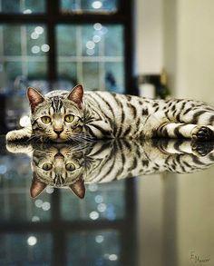 I Love Animals: Snow Bengal cat
