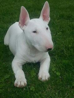 Show Love To This #BullTerrier <3 , http://www.ilovebullterrier.com