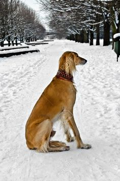 greyhound sitting - Google Search