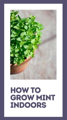 Growing Plants, Growing Vegetables, Growing Herbs In Pots, Growing Flowers, Lawn And Garden, Herb Garden Indoor, Indoor Gardening, Gemüseanbau In Kübeln, Growing Mint