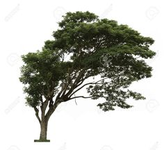 20585606-Rain-tree-Samanea-saman-Tree-in-Thailand-isolated-on-white-background-Stock-Photo.jpg (1300×1192)