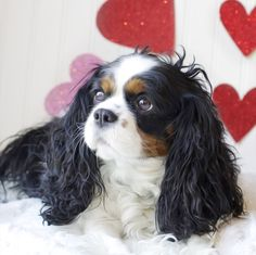 Valentine Cavalier King Charles Spaniel by Leanne Newman