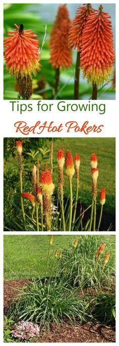 Red hot poker plants