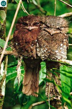 طائر فم الضفدع السريلانكي الالغريب 45f6107f339ed616bdd596850fd0042a--sri-lanka-nature-photos