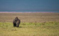De siste 30 årene er bestanden sunket med 90 prosent. African Wildlife Foundation, WWF og andre samarbeidspartnere gjør en kjempeinnsats for å bevare de sorte neshornet i Kenya, Tanzania, Zimbabwe og Sør-Afrika. Fra WWF-bloggen Vår Verden.  © Roger Brendhagen