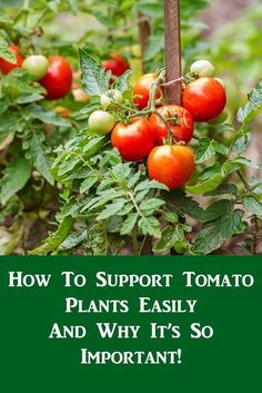 Growing Tomatoes Tips The absolute BEST way to stake your tomato plants for a great harvest!