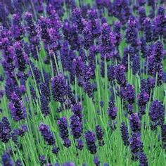Lavender in French Lavender, Lotus Cove, Mariner & Simply Irresistible