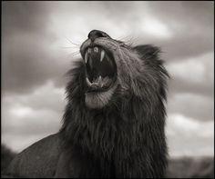 Rugissement du lion, Maasai Mara, 2012.