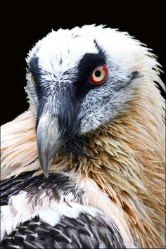 Bearded vulture. by Evey-Eyes.deviantart.com on @deviantART
