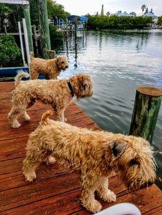 Our Wheatie Dock Mates: Sally, Gabriel & Clark.