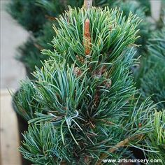 Open, broad pyramidal form with attractive twisted bluish-green to gray needles. Beautiful landscape specimen. Widely used as bonsai or container plant. Conical pyramid shape when young. Evergreen conifer. Full sun. Slow grower to 20 to 40 feet tall, 10 to 20 feet wide in 10 years; can reach 50 ft. or more with age. Seed grown.