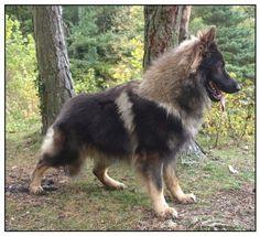 Blue - Icemead German Shepherd Dogs