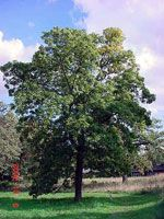 Hickory Tree Pictures category contains many pictures of Hickory Trees and facts on the Hickory Tree species, we have many Hickory Tree Pictures Fruit Trees, Trees To Plant, Hickory Tree, Black Walnut Tree, Tree Line, Garden Trees, Grass, Berries, Yard