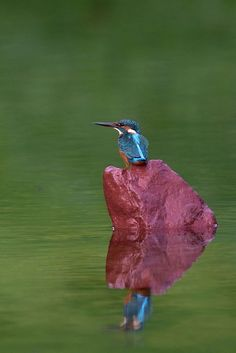 Return Beauty with Reflevtion , Kingfisher by Mubi.A