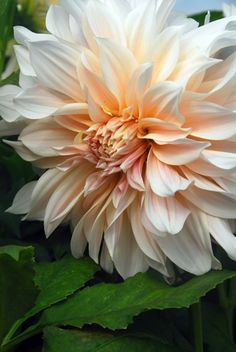 'Café au Lait': The flower colour of this gorgeous, decorative dahlia is hard to describe, but imagine rich cream with a big dollop of peachy-pink and you will get the idea. However the colour is described, the flowers are lush and lovely. They can grow up to 25cm across, so will make a pretty spectacular display in the border, or when cut and placed in a vase.