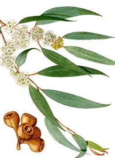 Petit zoom sur une de mes HE chouchou, j'ai nommé l'eucalyptus radié! Très utile pour les affections de la sphère ORL dites « haute », c'est un indispensable en hiver, pour les adultes et les enfants!