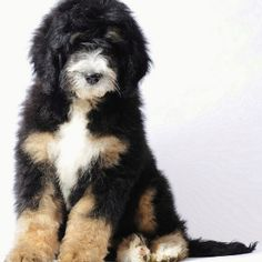 Bernese Mountain Dog + Poodle. They call them bernedoodles! Hypoallergenic and don't shed.