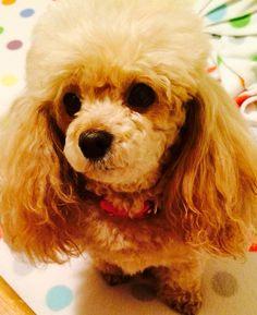 Toy Poodle: Ginger