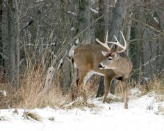 Picture of A whitetail deer buck standing in the snow. stock photo, images and stock photography. Whitetail Deer Pictures, Deer Photos, Deer Pics, Mule Deer Hunting, Hunting Shows, Big Deer, Deer Family, Whitetail Bucks, Animal Games