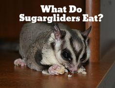 Sugargliders as pets in our homes need certain foods. They are exotic animals remember.