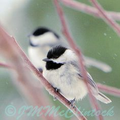 chickadees - my favorite bird--Hömötiaiset