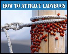How to Make a Ladybug Feeder & Attract Them to Your Garden ~ they feed on aphids, mealybugs, leaf hoppers, scales and mites. - via Apt Tx