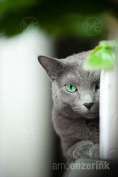 Portrait of a Russian Blue purebred cat