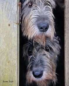 Irish Wolfhounds ... >cjk