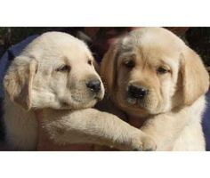 Akc Yellow Lab Puppies is a Yellow Female, Male Labrador Retriever Puppy For Sale in Sunbury OH
