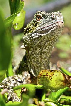 ✭ Eastern Water Dragon Sitting In Swamp