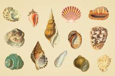 Shells-Vintage-Color-Illustrations-02.jpg (1340×892)