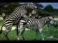 Nature Document   The Great Zebra Exodus Incredible - National Geographic - YouTube