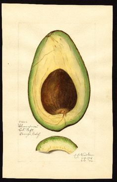 "Artist: Newton, Amanda Almira, ca. 1860-1943 Scientific name: Persea Common name: avocados Variety: Champion ""U.S. Department of Agriculture Pomological Watercolor Collection. Rare and Special Collections, National Agricultural Library, Beltsville, MD 20705"""