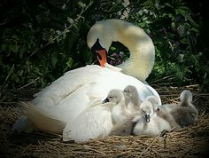 "Abbotsbury Swannery Dorset | Flickr - Photo Sharing!  Thanks to the photographer "" webeyer"" for these fantastic pic's"