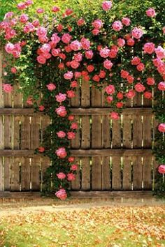 100 Seeds Climbing Rose Seeds Plants Spend Climbing Roses Seed Potted Flower Home Plant/Garden Rose Seeds Beautiful Roses, Beautiful Gardens, Pretty Roses, Garden Cottage, Climbing Roses, Climbing Clematis, Planting Vegetables, Plantation, Dream Garden